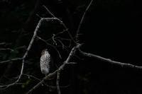 ツミ 09月10日 - 旧サンヨン(Nikon 300mm f/4D)野鳥撮影放浪記