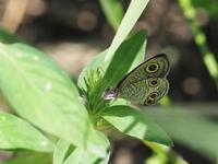 地元のウラナミジャノメ - 蝶超天国