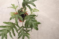 Drynaria sparcisora - PlantsCade -2nd effort