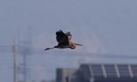 珍鳥ムラサキサギその4(飛翔) - 私の鳥撮り散歩