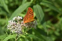 富士山麓のタテハチョウその1ヒョウモンチョウ類(2017/08/20) - Sky Palace -butterfly garden- II