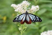 富士山麓のタテハチョウその2その他タテハチョウ類(2017/08/20) - Sky Palace -butterfly garden- II