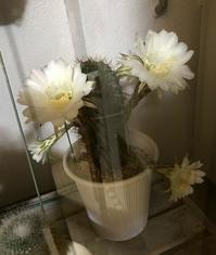 ベランダのサボテンが春と今2回も花を咲かせました - アトリエ A.Y. 洋裁教室