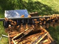 2017/2018 シーズン 女王蜂の育成はじめました - みつばちとニュージーランドで暮らす PicoMiere