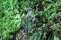 紫色の粒々、ヤブラン - 丹馬のきょうの1枚