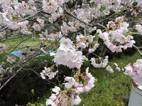 さくら - 花