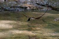 サンコウチョウ - さすらいの写遊人