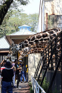 キリンに餌やり - 動物園放浪記