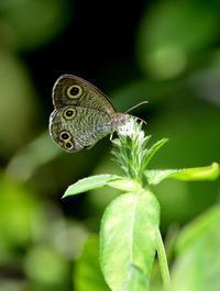 ウラナミジャノメ他 9月9日 - 超蝶