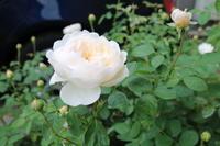 秋によく咲くバラその2*グラミスキャッスル - my small garden~sugar plum~