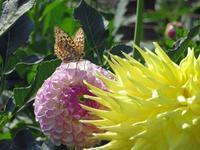 珍品、秋の平地のウラギンヒョウモン♂ - 秩父の蝶