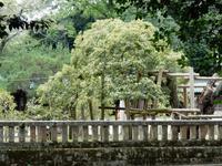 三島大社のウスギモクセイ - 白壁荘だより  天城百話