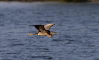 珍鳥 ムラサキサギ その6 (紺色の水面を飛ぶ) - 私の鳥撮り散歩