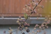 キビタキ幼鳥とウドの実 - やぁやぁ。