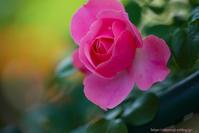 rose ...Ⅱ - ショーオヤジのひとり言