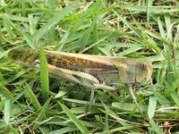 トノサマバッタ Locusta migratoria - 写ればおっけー。コンデジで虫写真