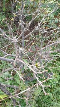葉を食べられたクチナシ - うちの庭の備忘録 green's garden