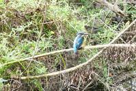 カワセミ羽繕い、、浅川 - 浅川野鳥散歩
