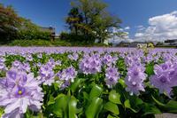本薬師寺跡のホテイアオイ - 花景色-K.W.C. PhotoBlog