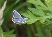 高原のシジミチョウたちミドリシジミ亜科以外 - 公園昆虫記