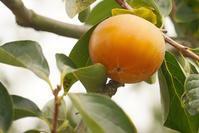 蓮台寺柿が色付く - 玉家の生活報告