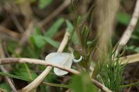 日の1枚2017年5月14日15時10分「ヒメシロチョウの産卵」 - 安曇野の蝶と自然