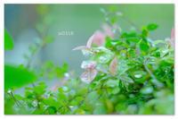 ハツユキカズラの新芽。 - Yuruyuru Photograph