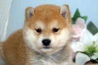柴犬子犬フェアー/30%~60%OFF/仙台市ペットショップ - 宮城・仙台ペットショップ鈴花