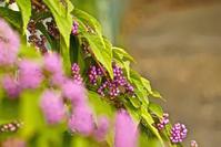 紫式部の花 - 玉家の生存報告