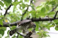 ツミ 幼鳥 - michikoの部屋