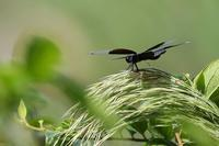 チョウトンボ - 比企丘陵の自然
