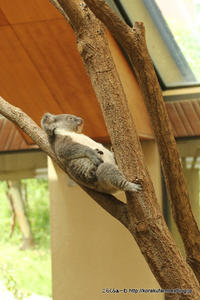 王子のコアラ 桜花ちゃん ひとりでお昼寝 - こらくふぁーむ