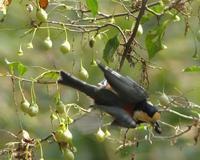 ヤマガラ登場 - 多摩子の鳥見 ・ 散歩
