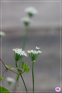 ニラの花咲く桜庭 - 気ままにデジカメ散歩