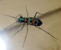 緑色のナミハンミョウ - 虫と