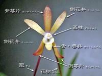 フウランの花の構造とその名称 - IS_engei