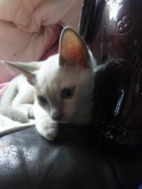 Tonkineses kittens No.5 - MINKWIN Cattery &Pretty Aki