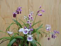 ウチョウラン - 花