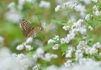 ソバ畑で遊ぶチョウ - 旅のかほり