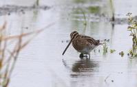 タシギを休耕田にて撮る - 私の鳥撮り散歩