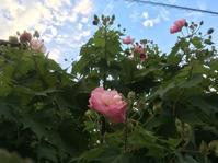 酔芙蓉に魅せられて - 花の自由旋律