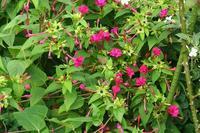 今日の庭 オシロイバナも元気に咲いています - シェーンの散歩道