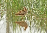 今年初めてのエリマキシギです - barbersanの野鳥観察