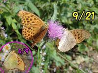 クモガタヒョウモン秋の裏面の劣化 - 秩父の蝶
