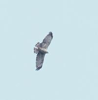 タカの渡りを観察に・・・ - 一期一会の野鳥たち