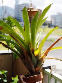 エクメア 'ランボー' #2 - Blog: Living Tropically
