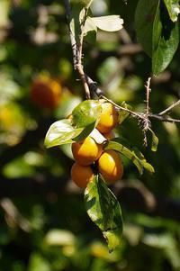 柿の実の色が大分濃くなって来ました! - 武蔵野散歩Ⅱ