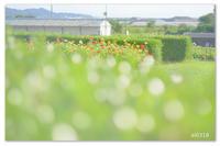 百日草のカラフル。 - Yuruyuru Photograph