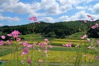 村に咲く秋桜 - 葡萄と田舎時間