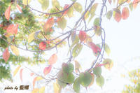 木の葉 - 藍の郷